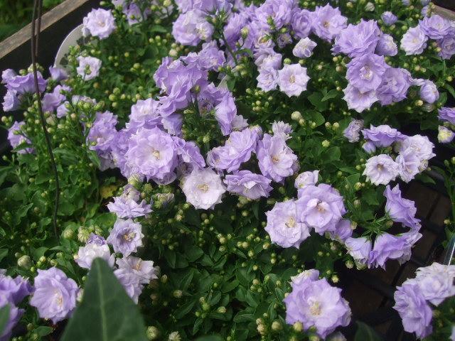 オークリーフ(6月の花たち)_f0049672_16101271.jpg