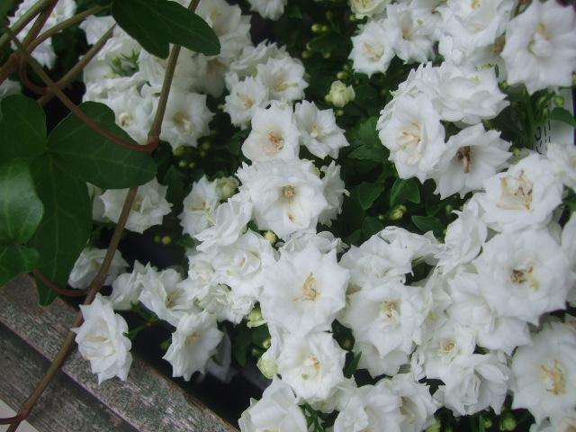 オークリーフ(6月の花たち)_f0049672_16102244.jpg