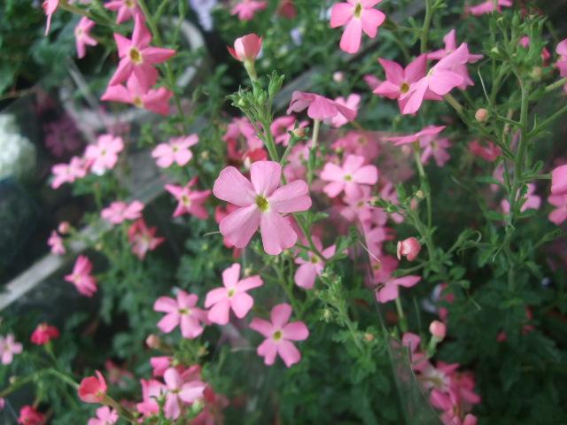 オークリーフ(6月の花たち)_f0049672_1610595.jpg
