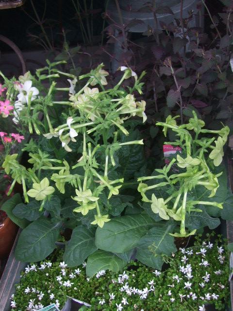オークリーフ(6月の花たち)_f0049672_16111280.jpg
