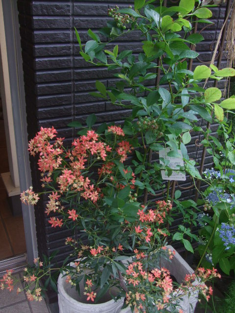 オークリーフ(6月の花たち)_f0049672_16114483.jpg
