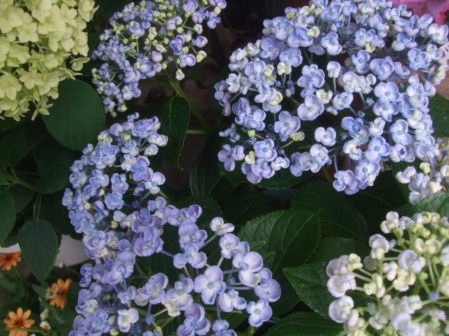 オークリーフ(6月の花たち)_f0049672_1611692.jpg