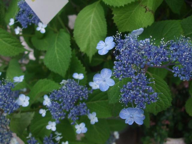 オークリーフ(6月の花たち)_f0049672_16141265.jpg