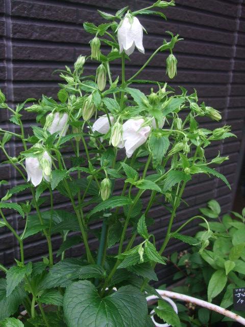 オークリーフ(6月の花たち)_f0049672_16153967.jpg