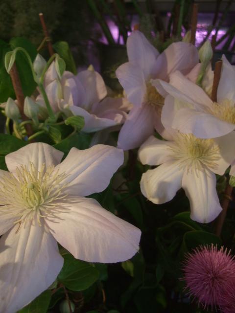 オークリーフ(6月の花たち)_f0049672_16373539.jpg