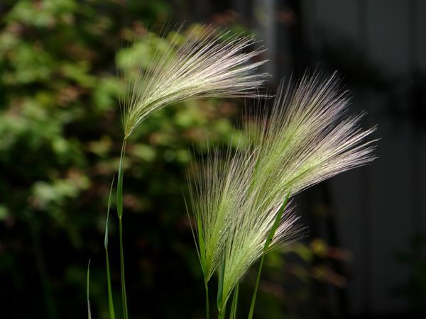 タータン麦(ホルディウム・ユバツム)_a0136293_17453657.jpg