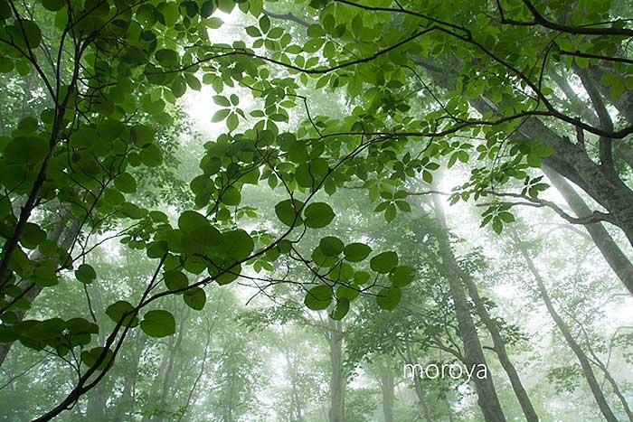 霧のブナ林_c0085877_9511116.jpg