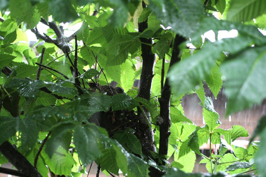 雛を雨からまもる_f0150893_18424192.jpg