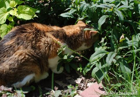 花壇の中でゴキゲンな猫_b0253205_1512878.jpg