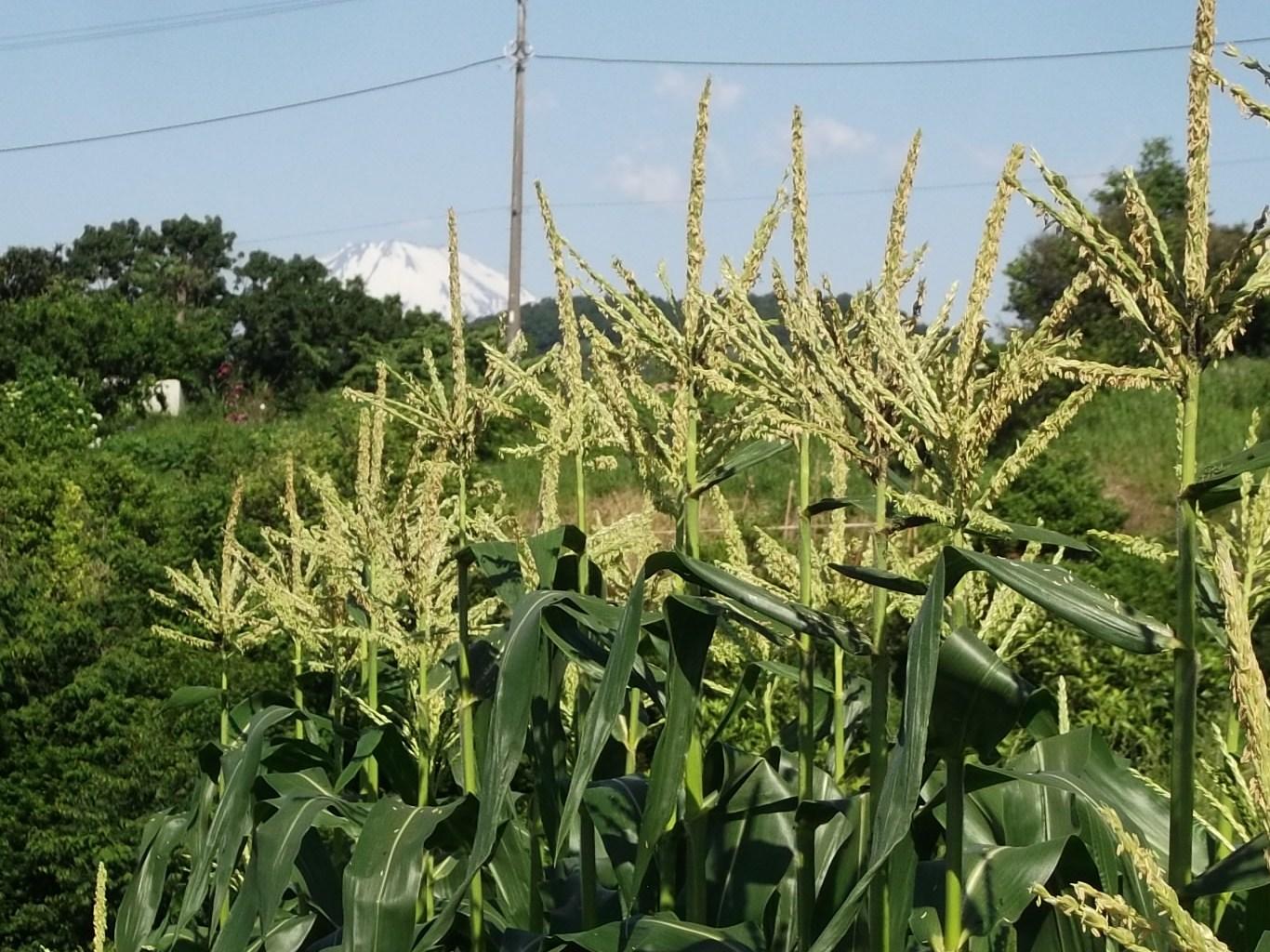 レタスがトウダチ...種まきです。_b0137932_135936100.jpg