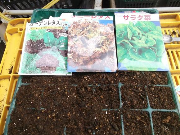 レタスがトウダチ...種まきです。_b0137932_1422750.jpg