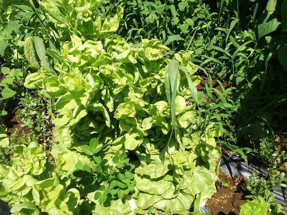 レタスがトウダチ...種まきです。_b0137932_142374.jpg