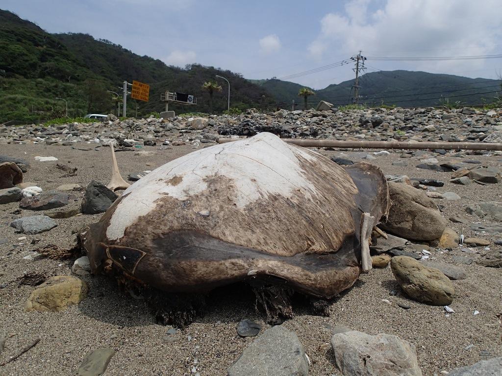 6/13 石川海岸ウミガメ調査_a0010095_1723627.jpg
