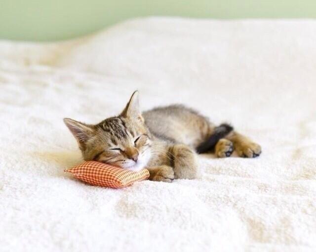 枕で眠る子猫