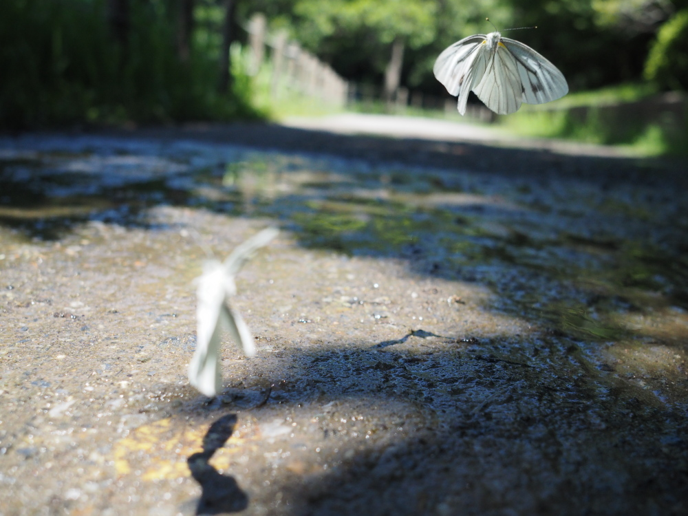 いつもの自然公園でミドリシジミ観察_f0324026_19331987.jpg