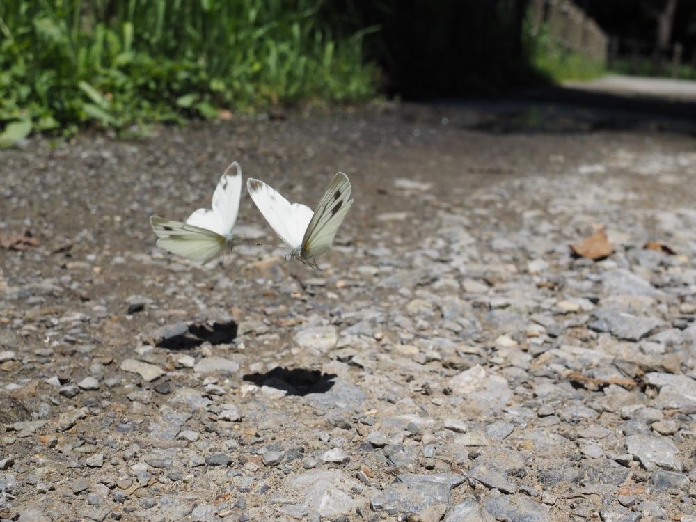 いつもの自然公園でミドリシジミ観察_f0324026_19333277.jpg