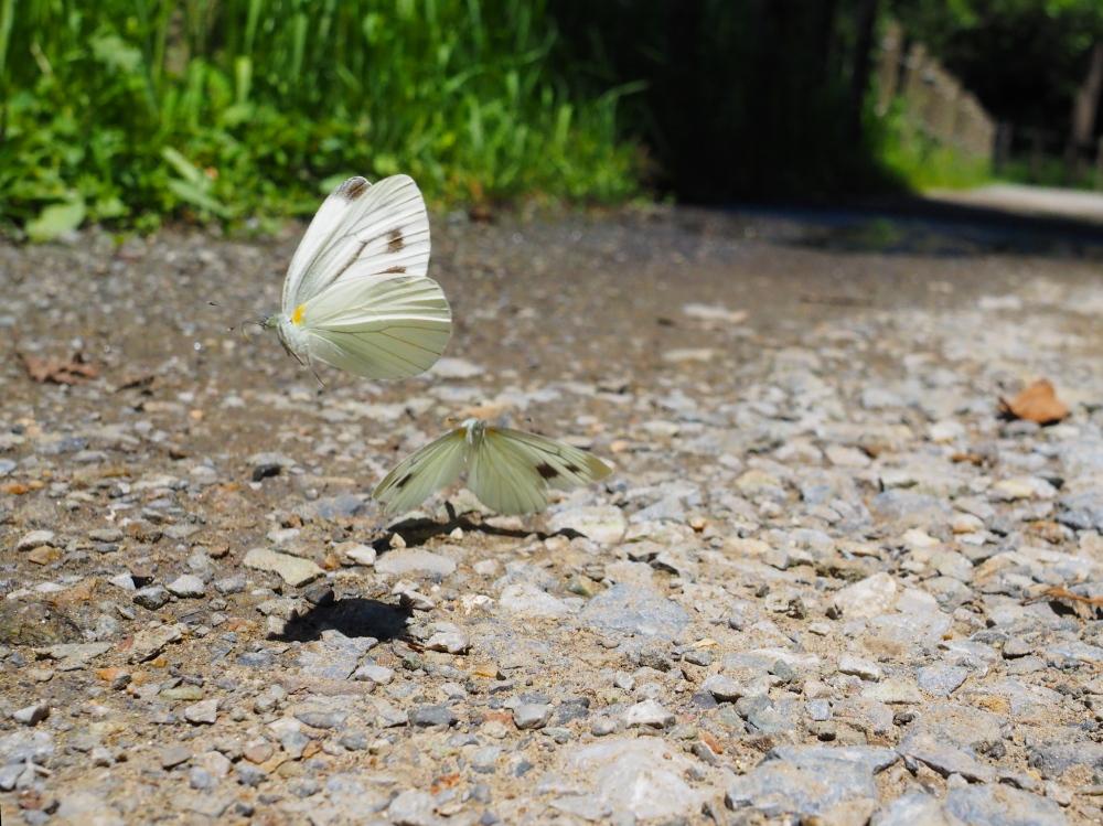 いつもの自然公園でミドリシジミ観察_f0324026_19333914.jpg