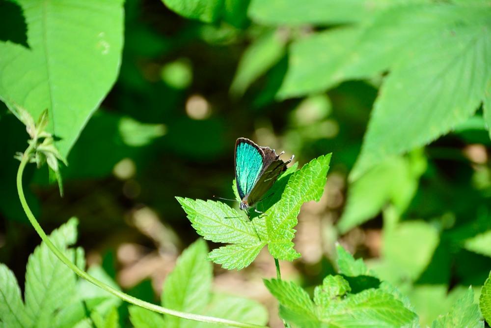 いつもの自然公園でミドリシジミ観察_f0324026_19404241.jpg