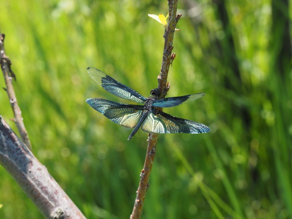 いつもの自然公園でミドリシジミ観察_f0324026_19430836.jpg