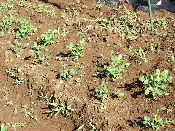 小さな苗も元気に成長中です。_b0137932_841651.jpg