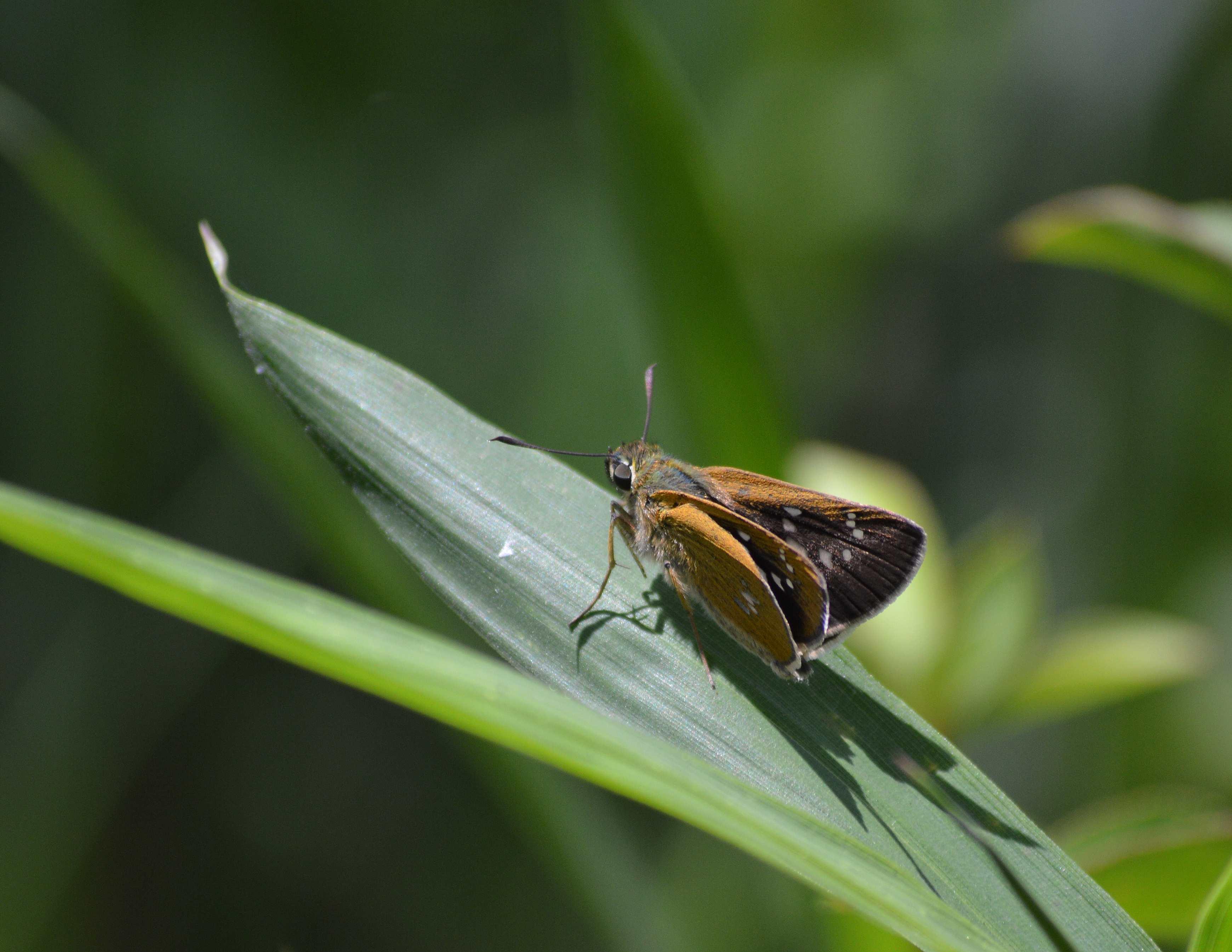 オオチャバネセセリ他 6月13日に撮影したセセリ4種_d0254540_15291033.jpg