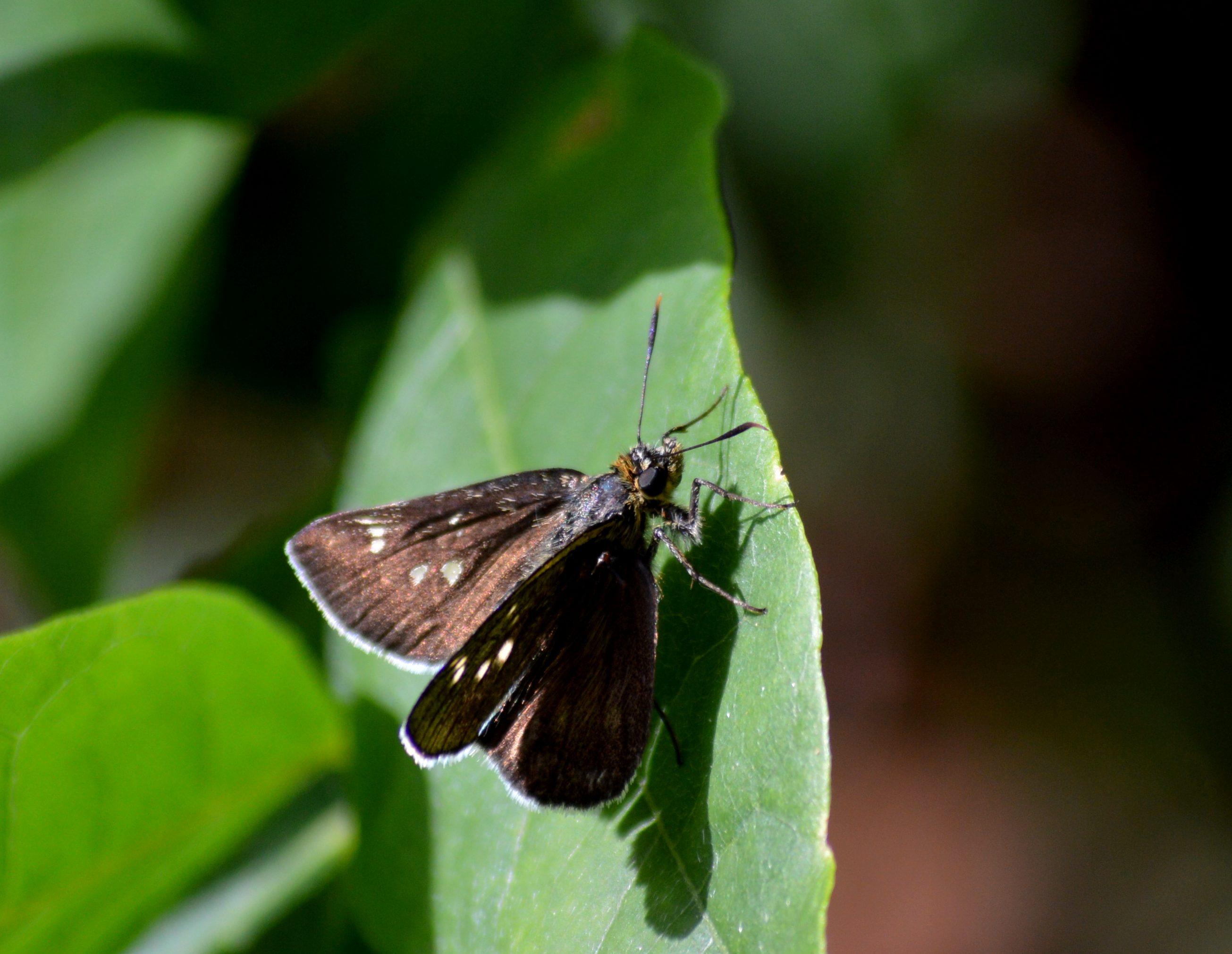 オオチャバネセセリ他 6月13日に撮影したセセリ4種_d0254540_15304712.jpg