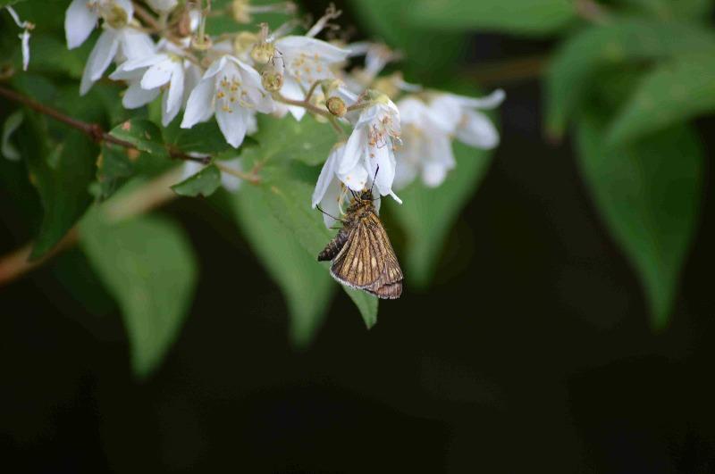 オオチャバネセセリ他 6月13日に撮影したセセリ4種_d0254540_15322216.jpg