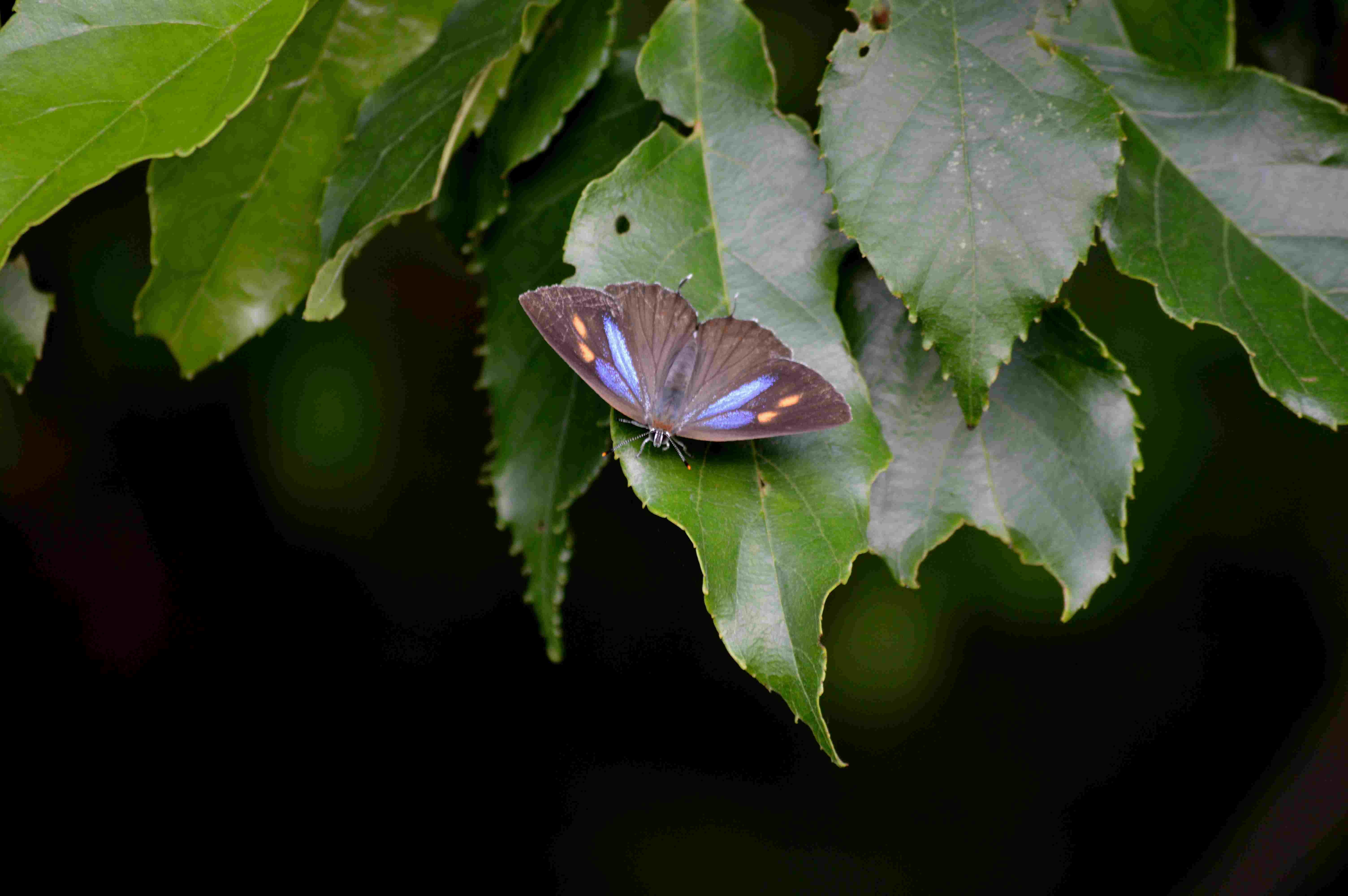 ミドリシジミ 早朝の開翅オンパレード_d0254540_19344492.jpg