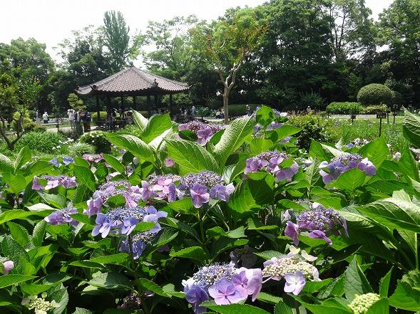 城北公園の紫陽花_b0299042_7183997.jpg