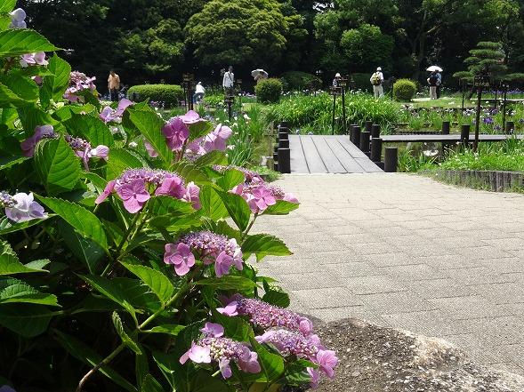 城北公園の紫陽花_b0299042_7184665.jpg