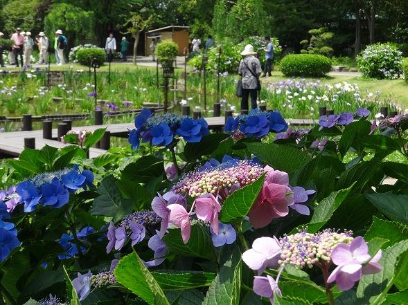 城北公園の紫陽花_b0299042_7185189.jpg
