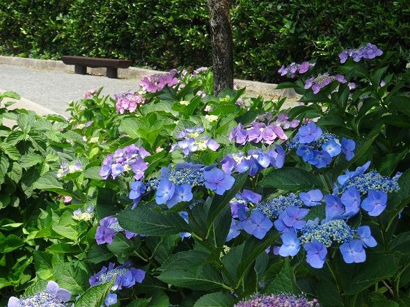 城北公園の紫陽花_b0299042_7185633.jpg