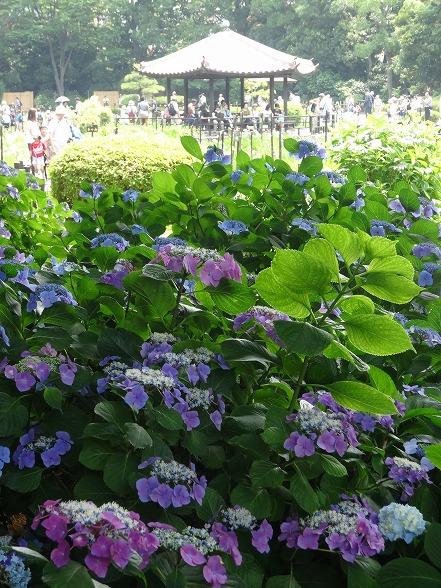 城北公園の紫陽花_b0299042_719132.jpg