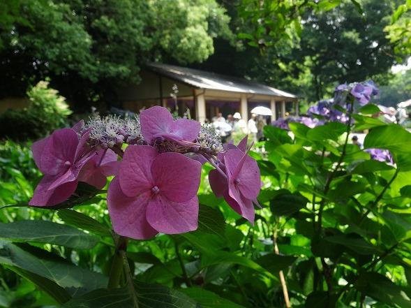 城北公園の紫陽花_b0299042_7192698.jpg