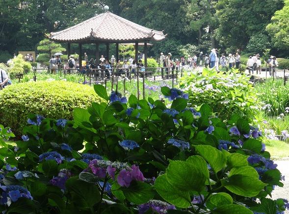 城北公園の紫陽花_b0299042_719682.jpg