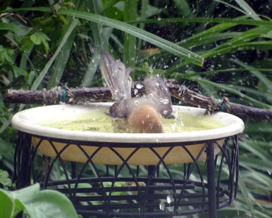 6月のモズの追っかけ、水浴びやペリットなど♪_a0136293_1730692.jpg