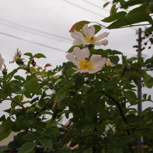 ローズヒップのバラ開花_a0292194_20384355.jpg