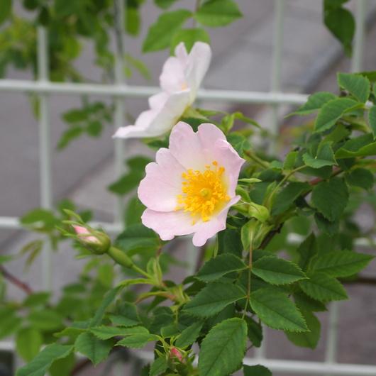 ローズヒップのバラ開花_a0292194_20395212.jpg