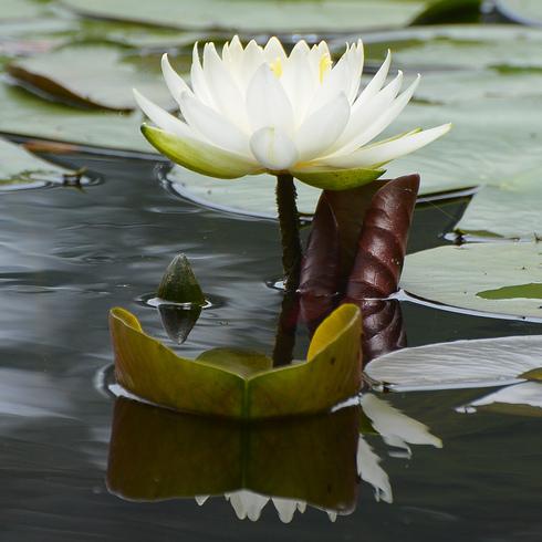 極楽寺 蛇の池の睡蓮_f0099102_19573140.jpg