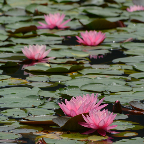 極楽寺 蛇の池の睡蓮_f0099102_19573525.jpg