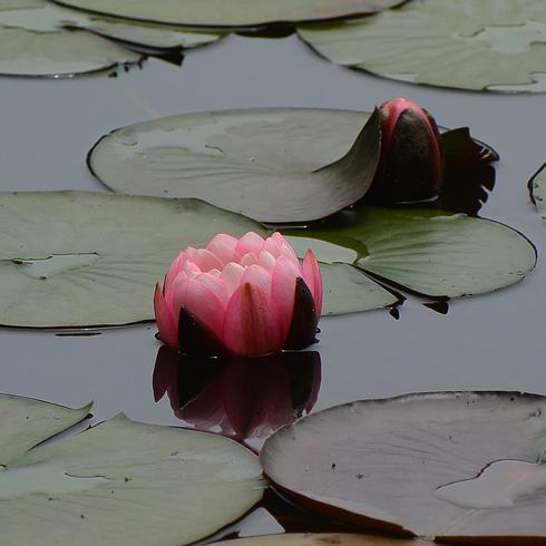 極楽寺 蛇の池の睡蓮_f0099102_195749100.jpg