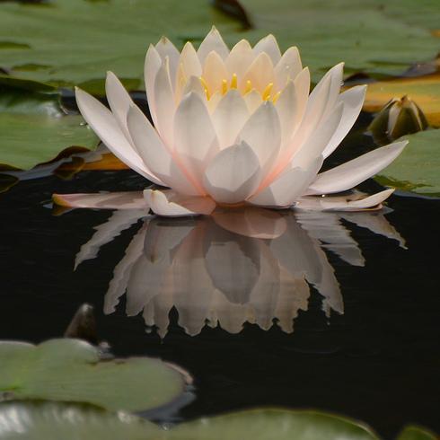 極楽寺 蛇の池の睡蓮_f0099102_19575326.jpg