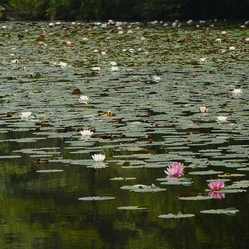 極楽寺 蛇の池の睡蓮_f0099102_19575847.jpg