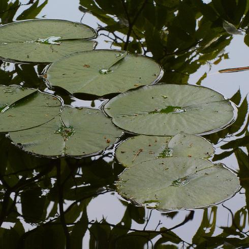 極楽寺 蛇の池の睡蓮_f0099102_1958166.jpg