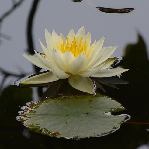 極楽寺 蛇の池の睡蓮_f0099102_19582018.jpg