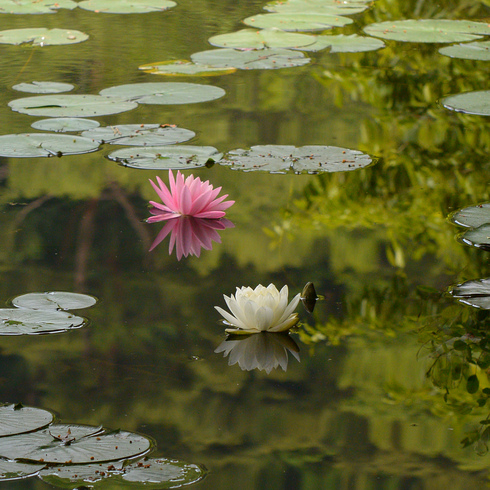 極楽寺 蛇の池の睡蓮_f0099102_19582473.jpg