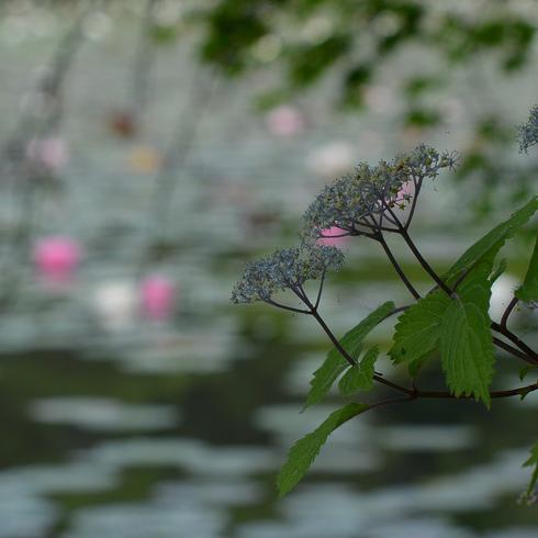 極楽寺 蛇の池の睡蓮_f0099102_1958336.jpg