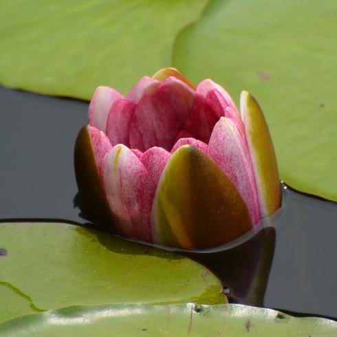 極楽寺 蛇の池の睡蓮_f0099102_1958495.jpg