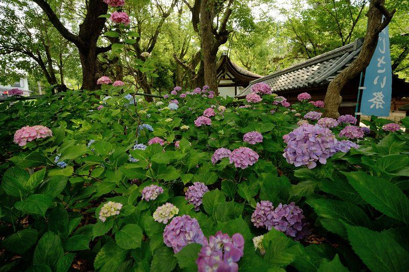 空梅雨の紫陽花巡り! 藤森神社_f0032011_18292360.jpg