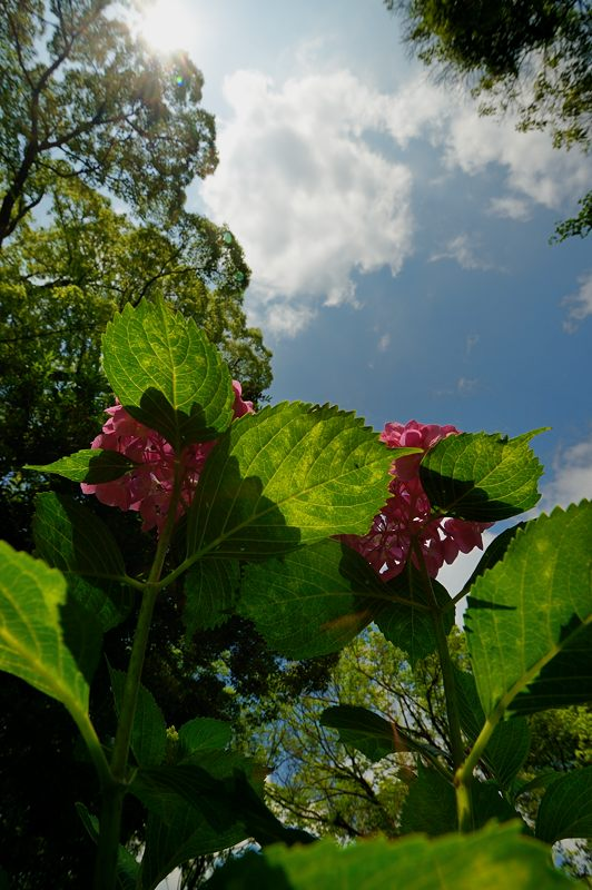 空梅雨の紫陽花巡り! 藤森神社_f0032011_1830159.jpg